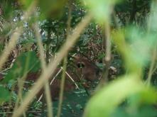 Ein junges Capybara